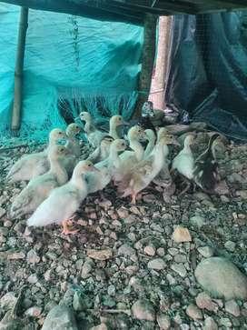 Patos criollos