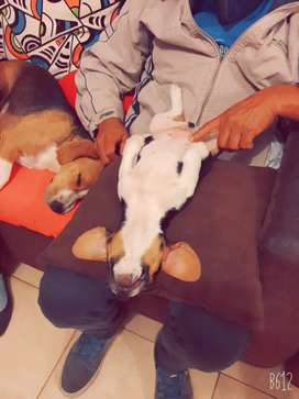 Hermoso beagle