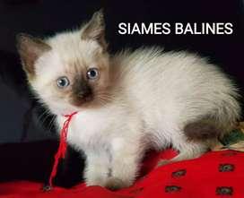 GATAS SIAMES BALINES