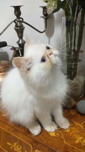 Gato persa imalaya extremo