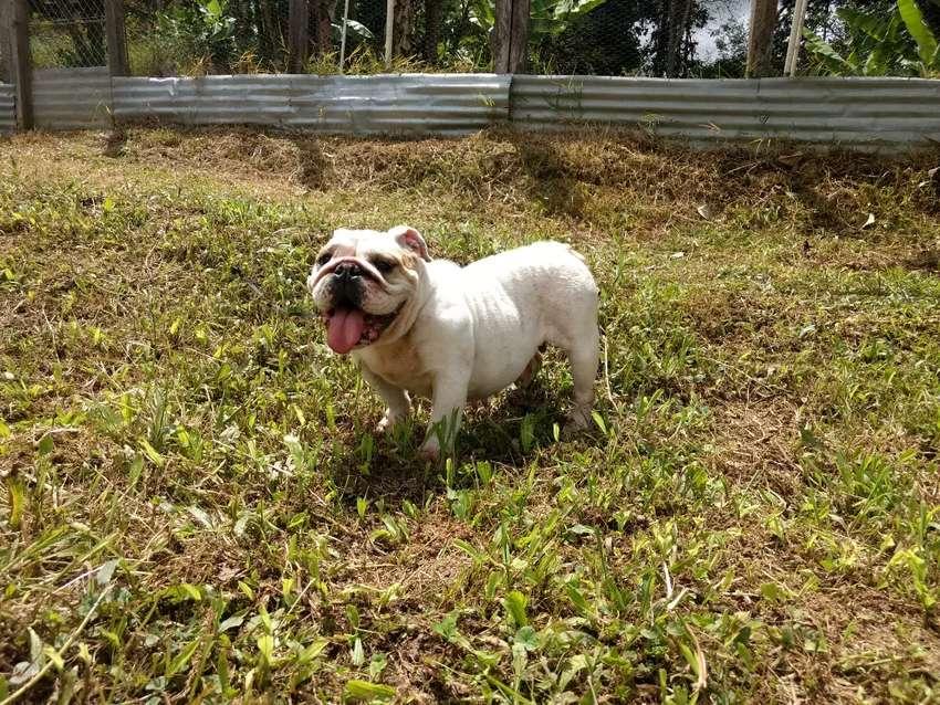 Bulldog inglés en adopción 0