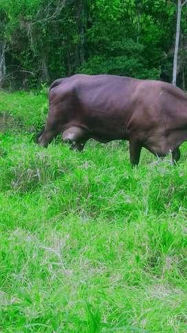 Vendo vaca lechera
