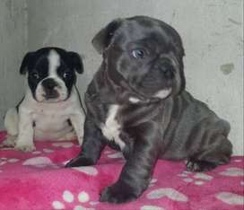 bulldog frances gen blue an tan