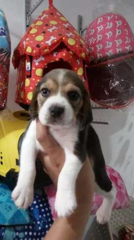 Se vende beagle
