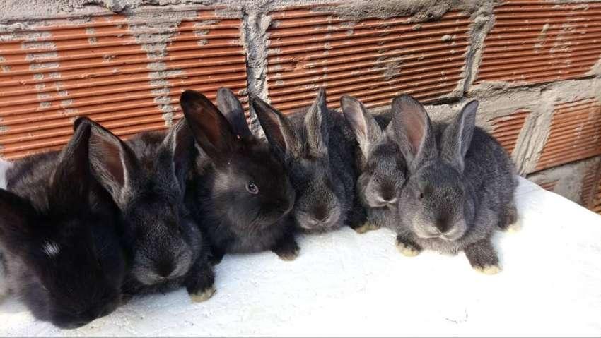 conejos gigantes de flandes ¡¡oferton!!
