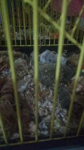 Vendo Hamster recién nacidos ya comen solos