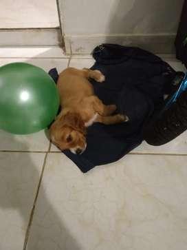 Se vende perra cocker de 2 meses