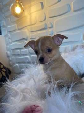 Chihuahua macho coffe