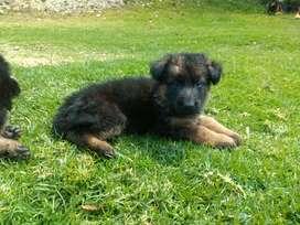 Cachorro pastor alemán pelo largo