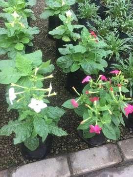 plantas nicotianas