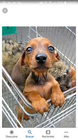 Vendo cachorros salchicha