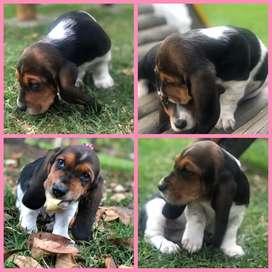 Baset hound bogota
