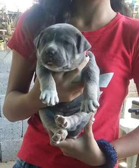 Se vende cachorra pitbull bully blue tricolor