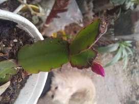Gp1160 Cactus santa teresita