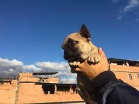 Hermosos bulldog frances disponibles