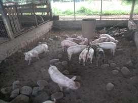 Se vende cerdos