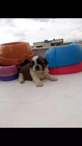 Ejemplares cachorros shih tzu en venta
