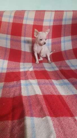 Hermosa chihuahua miniatura