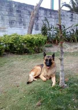 Se venden cachorros de Pastor alemán