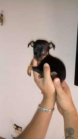 Cachorros hermosos de raza pincher pinsher