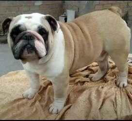 Servicio de monta de bulldog ingles dorado pedigri