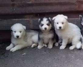 Cachorros Huskys siberianos