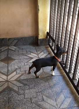 Vendo Cachorros Pincher 00 miniatura