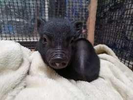 Vendo micro pig
