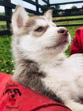 Husky siberiano manto rojo