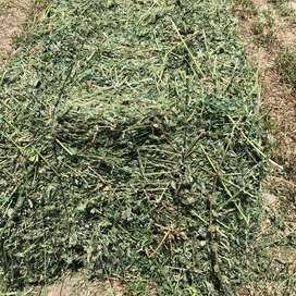 Fardos y Semillas de Alfalfa Santiagueña