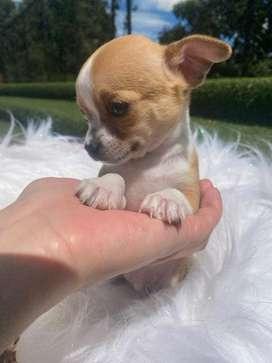 Chihuahua garantizado macho