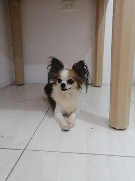 Hermoso Cachorro Chihuahua pelo largo