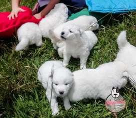 Espectaculares Cachorros Samoyedo Disponibles