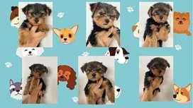 Cachorros yorkshire machos