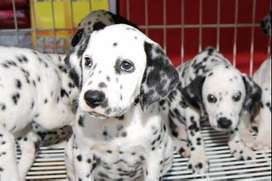 disponemos cachorros dalmata de 45 dias pecosos