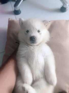 Últimos cachorros huskys