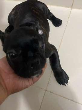 Perro bulldog francés macho