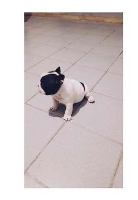 Bulldog frances hembrita black pied