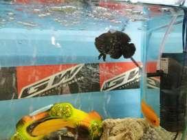 2 peces ciclido africanos y 1 pez Oscar