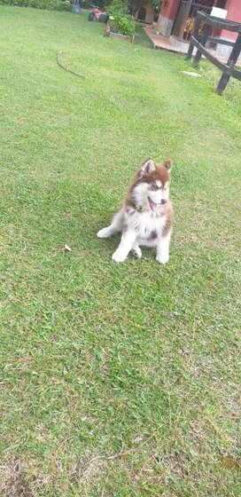 Hermoso Cachorro Lobo Siberiano Rojo