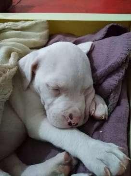 Cachorra Dogo Argentino