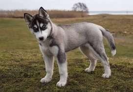 vendo bonito perro hanki de 6 meses precio negociable