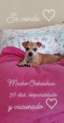 Ultimo machito Chihuahua mini disponible.