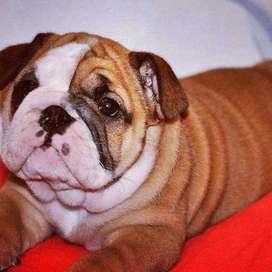 tierno bulldog ingles de 7 semanas de nacido