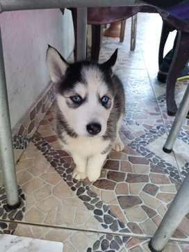 Vendo hermosos cachorros de lobo ciberiano puros $900.000  Edad.. mes y medio..