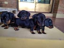 Cachorritos salchicha