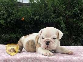 Bulldog Ingles, hermosos, cariñosos y tiernos cachorritos en venta de Nutibara Bulldogs