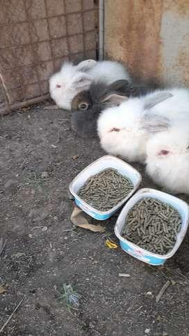 Vendo conejos cabeza de león