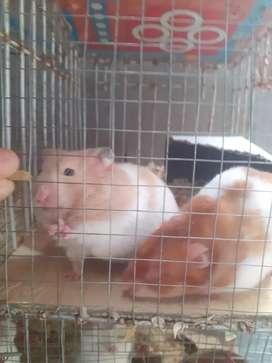 Vendo hamster sirios de variedad de tamaño
