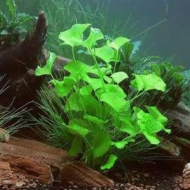 planta acuatica nynfoides taiwan